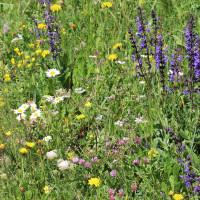 Blumenwiese mit blauem Wiesensalbei und weißen Margeriten